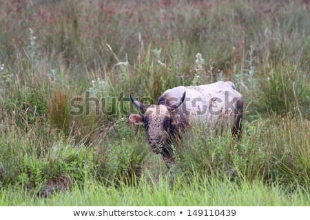 Grande touro danúbio delta foto grama Foto stock © taviphoto