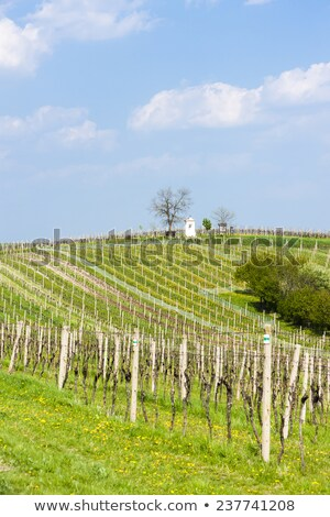 spring vineyards near nemcicky czech republic stock photo © phbcz