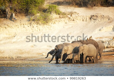 zonsondergang · afrikaanse · savanne · silhouetten · twee · giraffen - stockfoto © artush