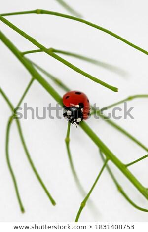 Ladybug gałązka czerwony wspinaczki zielony liść makro Zdjęcia stock © Anterovium