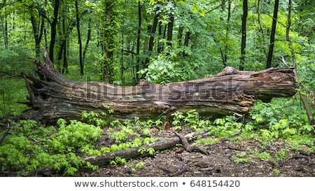 deciduous forest with fallen tree stock photo © all32