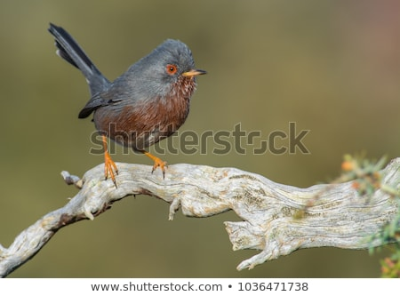 dartford warbler sylvia undata stock photo © chris2766