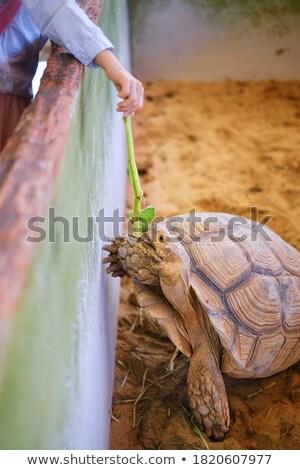 Big turtle in its enclosure Stock photo © epstock
