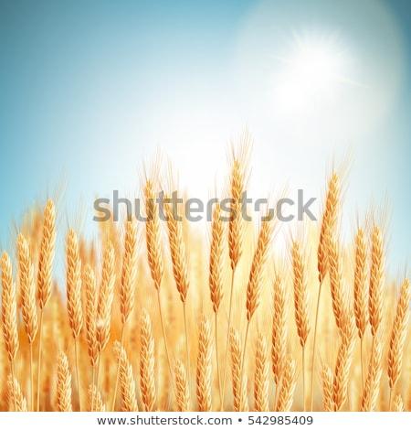 ストックフォト: 金 · 麦畑 · 青空 · eps · 10 · ベクトル