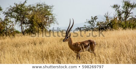 afrikai · gazella · Afrika · délnyugat · konzerv · elér - stock fotó © kasto