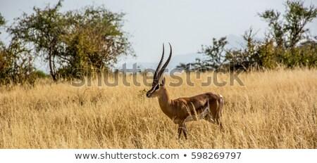 Grant's gazelle -  Nanger granti. Stock photo © kasto