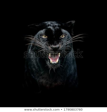 kediler · panter · yetişme · ortamı · siyah · doğa - stok fotoğraf © conceptcafe