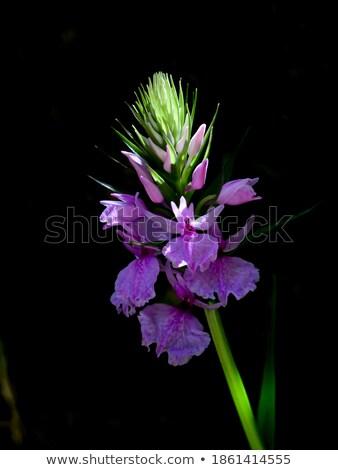 Orchidea Madeira sziget lila fehér kert Stock fotó © compuinfoto