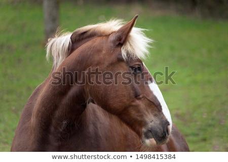 Brown coldblood horse  Stock photo © digoarpi