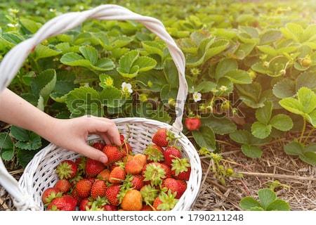 Farmer picking fresh organic homegrown strawberry Stock photo © stevanovicigor