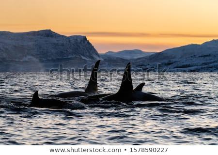 Katil balina yüzme okyanus örnek deniz Stok fotoğraf © bluering
