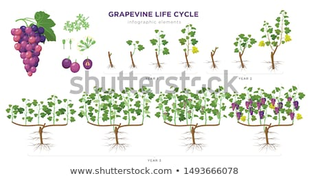 A grapevine Stock photo © bluering