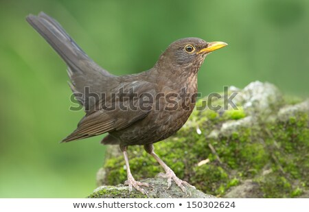 female common blackbird stock photo © cynoclub
