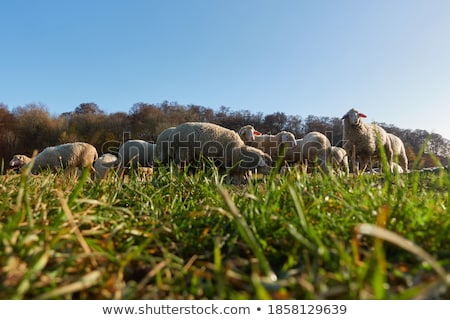 sheep eating grass in the farm stock photo © maya2008