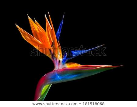 Strelitzia,  bird of paradise flower,  crane flower. Stock photo © AlessandroZocc