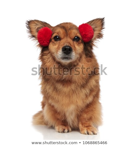 adorable brown metis dog is ready for cold weather Stock photo © feedough