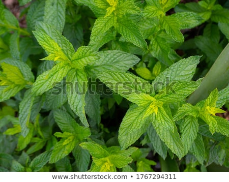 Field of green medicinal plants Mentha piperita Stock photo © adamr