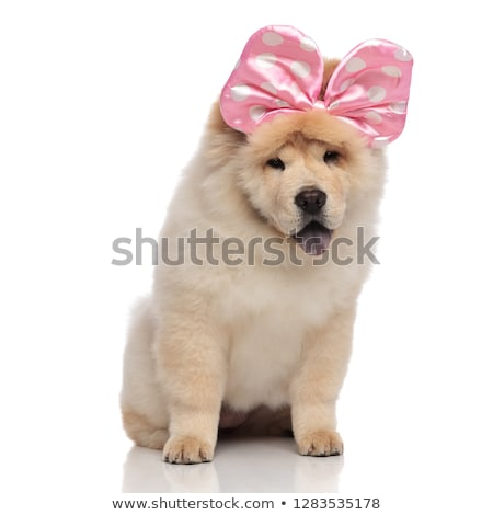 adorable chow chow with pink ribbon on head panting Stock photo © feedough