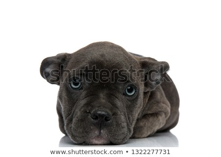 american bully resting on his paws Stock photo © feedough