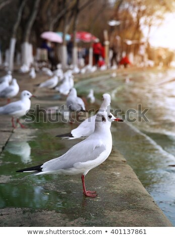 black headed gulls in a winter day stock photo © taviphoto