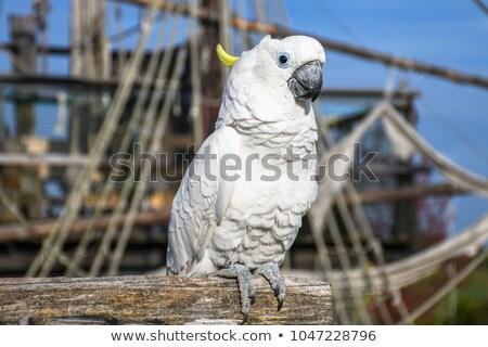 Piraat papegaai huisdier houten boot illustratie Stockfoto © colematt
