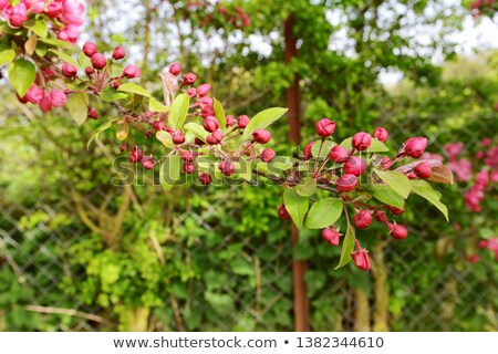 Long tree branch covered with deep pink blossom buds Stock photo © sarahdoow