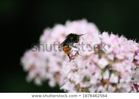 Red-tailed bumblebee on a purple allium flower Stock photo © sarahdoow