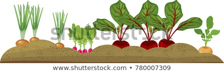 Red beetroot growing in a vegetable garden Stock photo © sarahdoow
