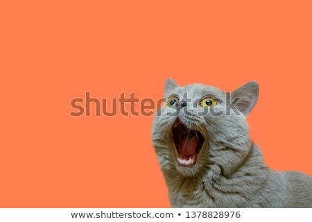 şaşırmış kedi pisi yalıtılmış beyaz bakıyor Stok fotoğraf © silent47