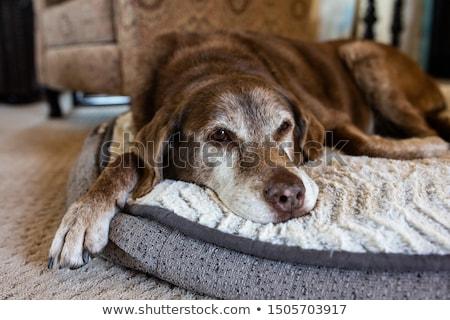 Starych psa cementu patrząc kamery Zdjęcia stock © joyr