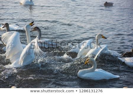 Kavga beyaz yüzme kış göl yer Stok fotoğraf © olira