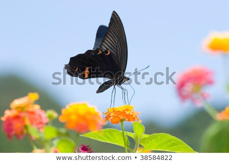 Big black swallowtail butterfly flying under blue sky Stock photo © Ansonstock