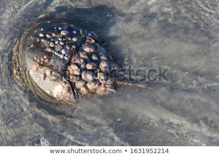 horseshoe crab swimming stock photo © arenacreative