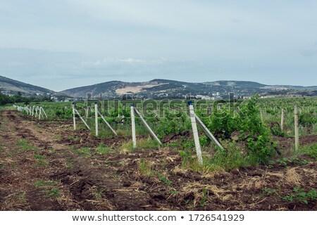 ブドウ · 美しい · 風景 · フルーツ · 美 - ストックフォト © borissos