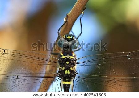 Huge Dragon-fly in Detail. Stock photo © Alvinge