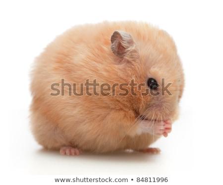 hamster · beyaz · portre · komik · evcil · hayvan · sevimli - stok fotoğraf © devon