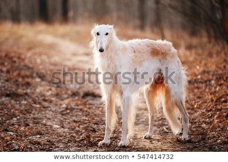 Russian Borzoi dog Stock photo © cynoclub