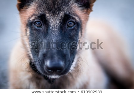 Köpek yavrusu görmek oturma yalıtılmış Stok fotoğraf © eriklam