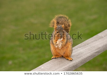 Keleti róka mókus közelkép lövés Niger Stock fotó © macropixel