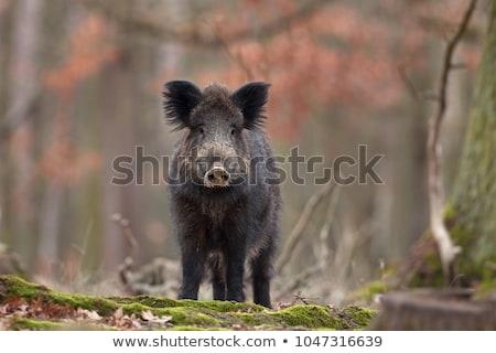javali · porco · húngaro · floresta · céu - foto stock © samsem