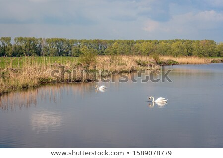 çift · kuğu · sevmek · gece · göl · gün · batımı - stok fotoğraf © ivonnewierink