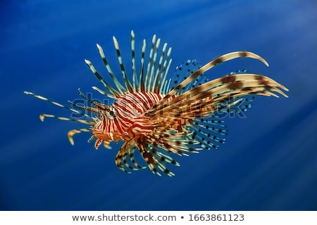 Tropical fish lionfish Stock photo © johnnychaos