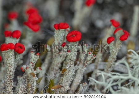Cladonia Cup Lichen Stock photo © tainasohlman