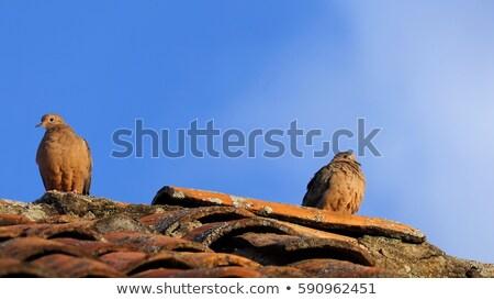 Lotu niebo ptaków Pióro dove pierścień Zdjęcia stock © taviphoto