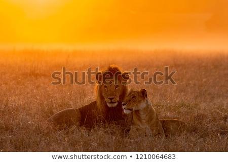 ライオン · シルエット · 日没 · ツリー - ストックフォト © adrenalina