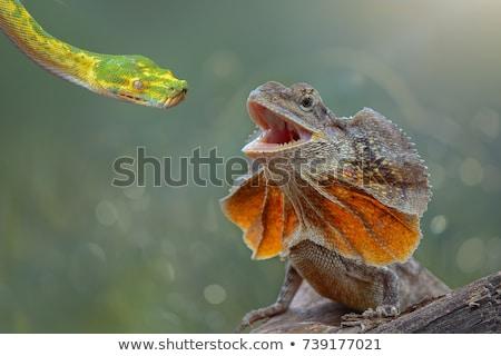 イグアナ · トカゲ · クローズアップ · 背景 - ストックフォト © oleksandro