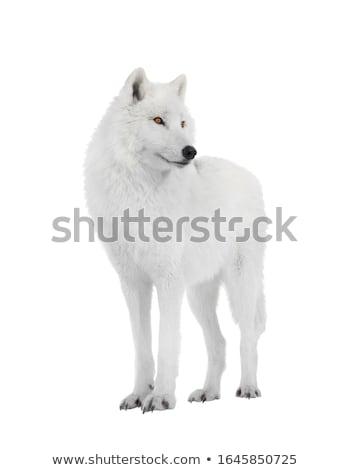 Bianco artico lupo animale natura sfondo Foto d'archivio © OleksandrO