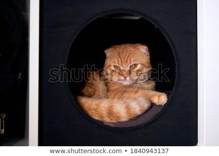 Peloso rosso cat riposo shelf instagram Foto d'archivio © dariazu