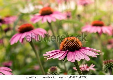 virág · virágok · kert · napos · idő · természet · egészség - stock fotó © julietphotography