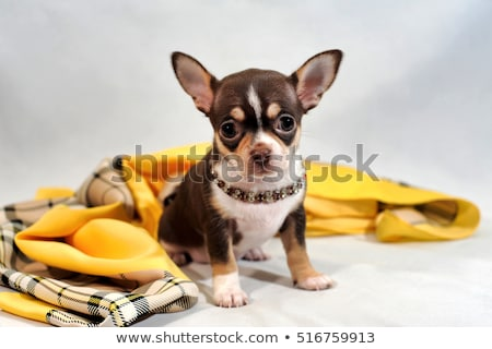 Chihuahua puppy pet dog doggy portrait on white Stock photo © lunamarina